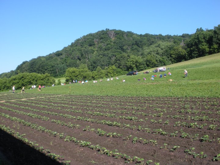 People picking their own strawberries, with newly planted strawberries in the foreground