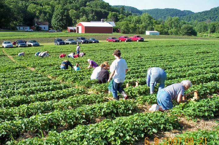 People picking their own strawberries in the strawberry patch
