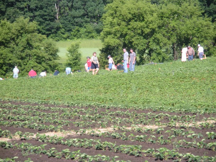 People starting the day picking their own strawberries